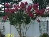 hedge triming after